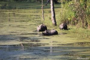 Rinocerontes de un cuerno en Chitwan